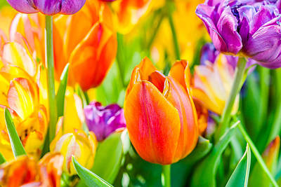 Tulips Enchanting 02 Print by Alexander Senin