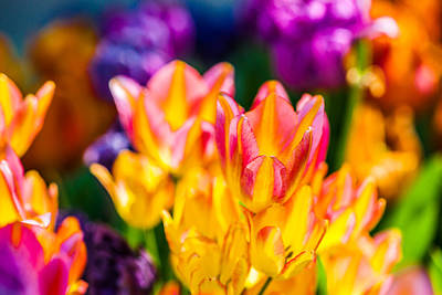 Tulips Enchanting 12 Print by Alexander Senin