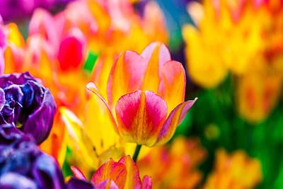 Tulips Enchanting 16 Art Print by Alexander Senin