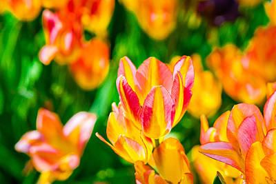 Tulips Enchanting 18 Print by Alexander Senin