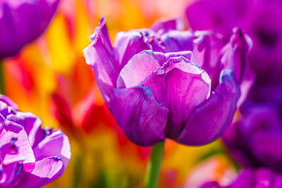Photograph - Tulips Enchanting 43 by Alexander Senin