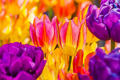 Photograph - Tulips Enchanting 45 by Alexander Senin