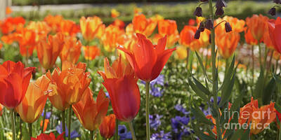 Photograph - Tulips Everywhere 3 by Rudi Prott