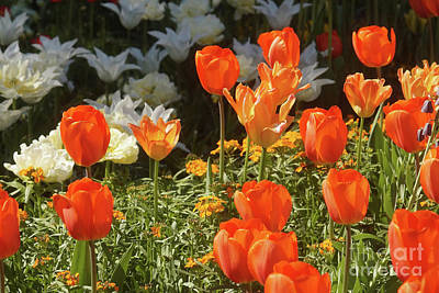 Photograph - Tulips Everywhere 4 by Rudi Prott
