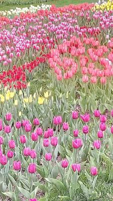 Photograph - Tulips Field by Oleg Zavarzin