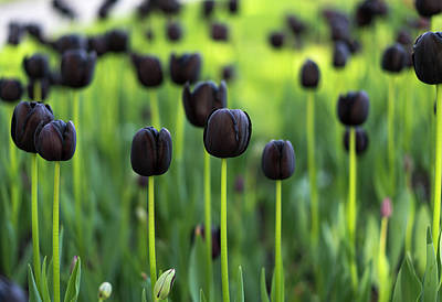 Photograph - Tulips Flowers by Radoslav Nedelchev