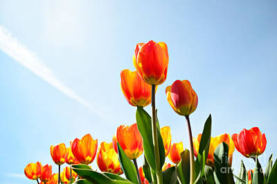 Photograph - Tulips From A Low Point Of View by IPics Photography