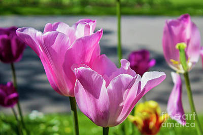 Photograph - Tulips From Amsterdam  by Doc Braham