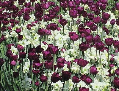 Photograph - Tulips Galore by Kathie Chicoine