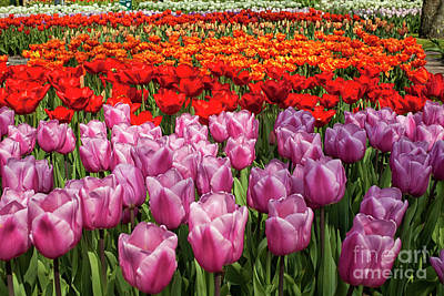 Photograph - Tulips Galore by Patricia Hofmeester