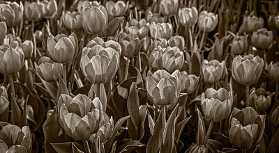 Photograph - Tulip Garden by Phil Cardamone