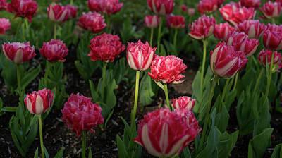 Photograph - Tulips Garden by Radoslav Nedelchev