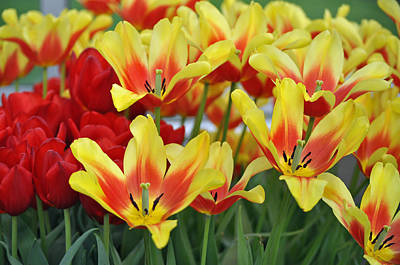 Tulips For Mom Photograph - Tulips Glorious Tulip Monsella by Debra  Miller