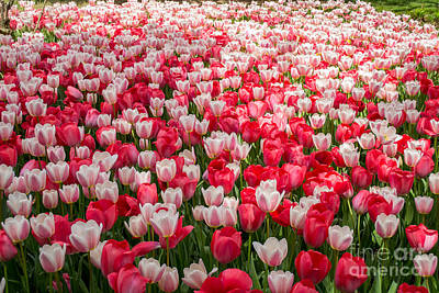 Nashville Tennessee Photograph - Tulips by Holden Parker