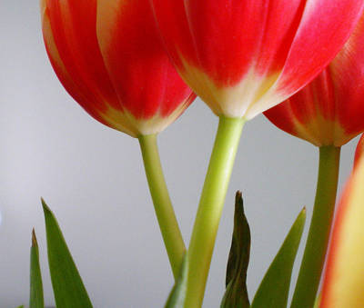 Photograph - Tulips II by Robin Webster