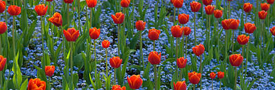 Tulips In A Garden, Butchart Gardens Art Print by Panoramic Images