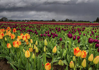 Photograph - Tulips In A Storm by Jean Noren