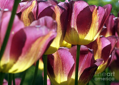 Photograph - Tulips In Backlight 1 by Rudi Prott