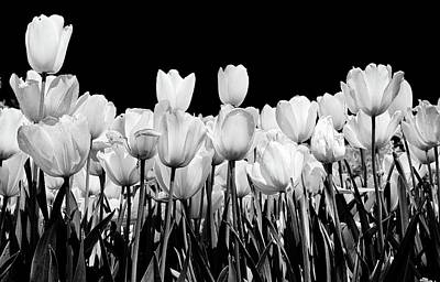 Photograph - tulips in Black and white by John Babis