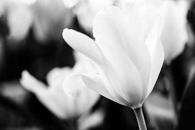 Photograph - Tulips In Black And White by Vishwanath Bhat
