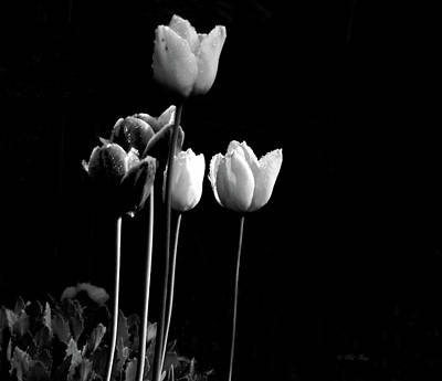 Photograph - Tulips In Black by Wild Thing