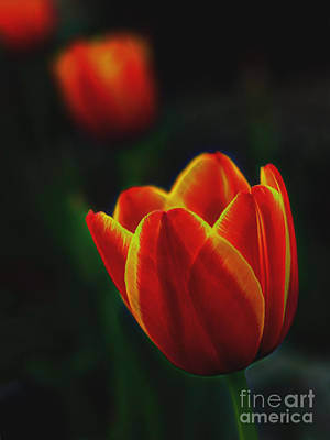 Fused Photograph - Tulips In Contrast by Norman Gabitzsch
