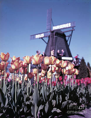 Holland Michigan Photograph - Tulips In Holland Michigan by The Harrington Collection