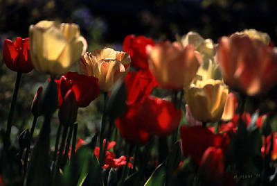 Photograph - Tulips In Morning Light by Michael Flood