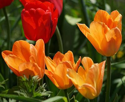 Photograph - Tulips In Orange And Red by Tracey Vivar