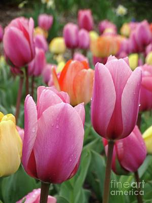 Photograph - Tulips In Pastel Palette by Rebecca Overton