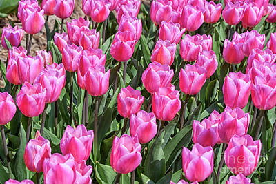 Photograph - Tulips In Pink Color by Patricia Hofmeester