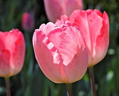 Photograph - Tulips In Pink by Katherine White