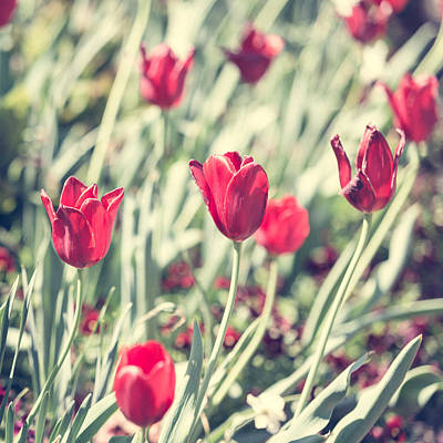 Photograph - Tulips In Red by Wade Brooks