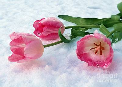 Pyrography - Tulips In Snow by Morag Bates