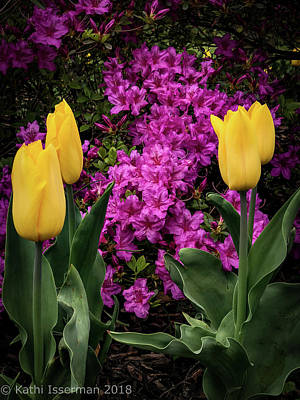 Photograph - Tulips In Spring IIi by Kathi Isserman