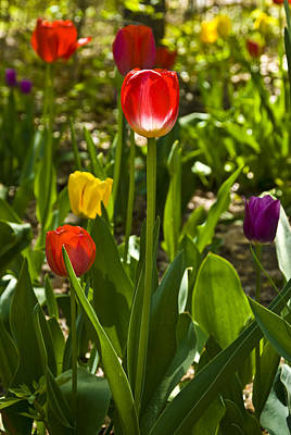 Photograph - Tulips In The Garden by Anthony Sacco