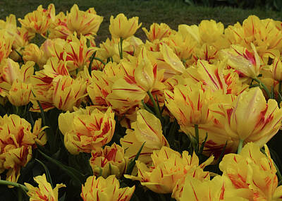 Photograph - Tulips In The Garden Tulips In The Park  by Phyllis Britton
