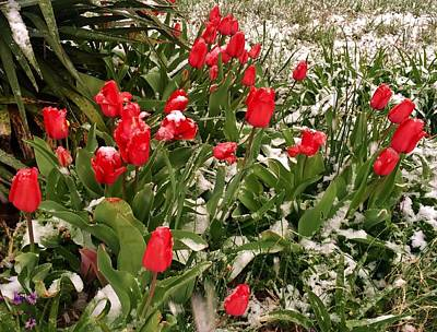 Photograph - Tulips In The Snow by Ed Sweeney