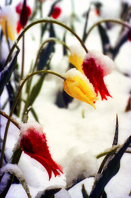 Tulips In The Snow Art Print