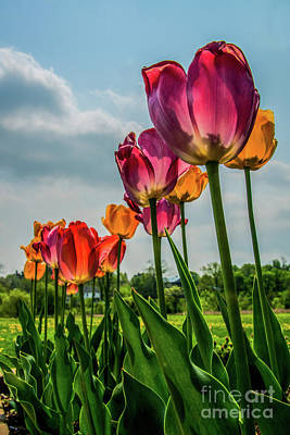 Photograph - Tulips In The Spring by Jane Axman