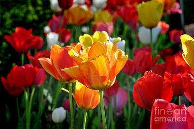 Photograph - Tulips In The Spring by Nava Thompson