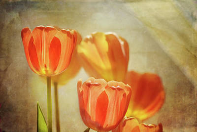 Photograph - Tulips In Window Light 2 by Susan Capuano