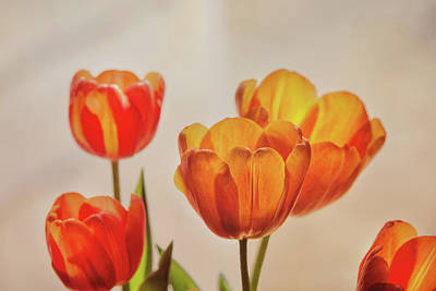 Photograph - Tulips In Window Light by Susan Capuano