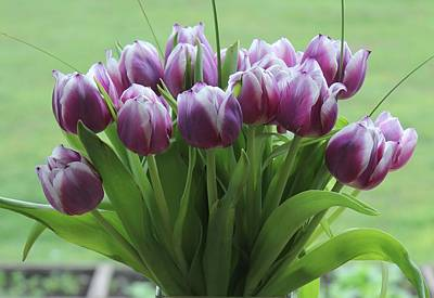 Photograph - Tulips by Judy Bradley