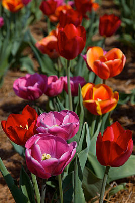 Photograph - Tulips by Lawrence Boothby