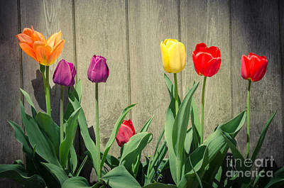 Photograph - Tulips by Mike Ste Marie