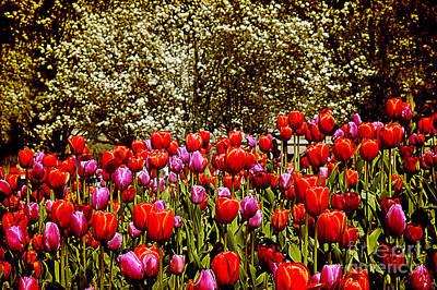 Photograph - Tulips by Milena Ilieva