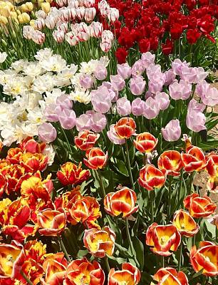 Photograph - Tulips Of May by Caroline Stella