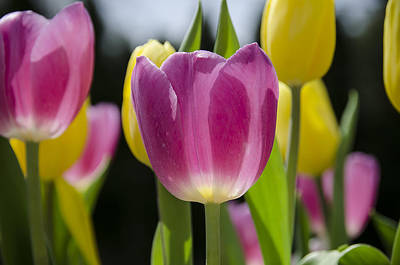 Photograph - Tulips One by Eric Miller