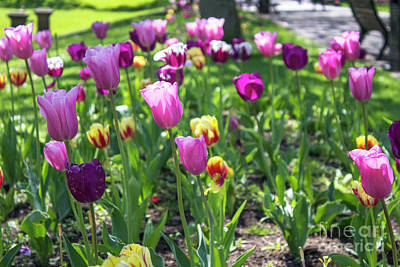 Photograph - Tulips Park Gardens by Doc Braham